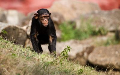 Animals_026_Schimpanse_02